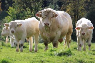 Kühe in Eichenermühle (1)