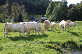 Kühe in Eichenermühle (2)