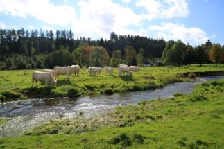 Kühe in Eichenermühle (3)
